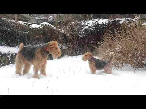 Welsh Terrier – Wesen, Verhalten und Haltung des Hundes