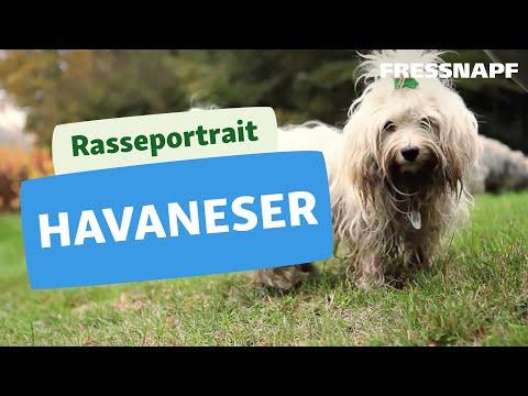 Havaneser - Wesen, Verhalten und Haltung des Hundes
