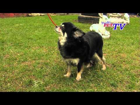 Chihuahua - Wesen, Verhalten und Haltung des Hundes