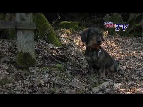 Dackel - Wesen, Verhalten und Haltung des Hundes