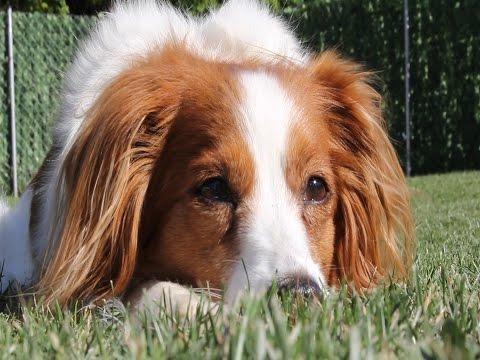 Kooikerhondje – Wesen, Verhalten und Haltung des Hundes