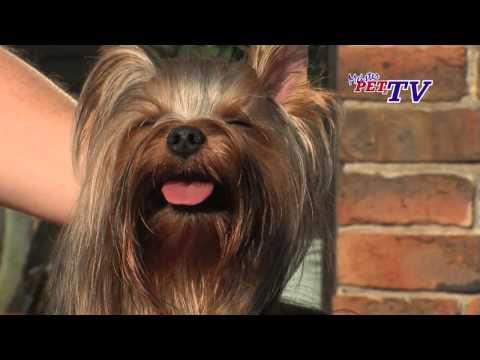 Yorkshire Terrier - Wesen, Verhalten und Haltung des Hundes