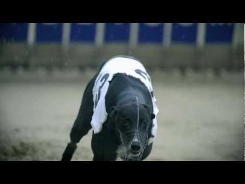 Greyhound - Wesen, Verhalten und Haltung des Hundes