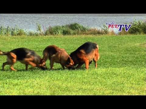 Deutscher Schäferhund - Wesen, Verhalten und Haltung des Hundes