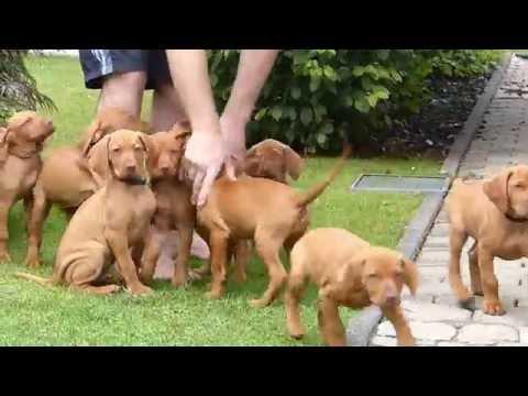 Malteser – Wesen, Verhalten und Haltung des Hundes