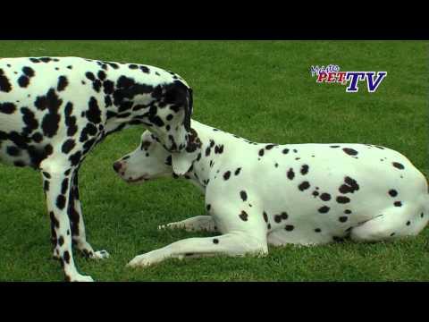 Dalmatiner - Wesen, Verhalten und Haltung des Hundes