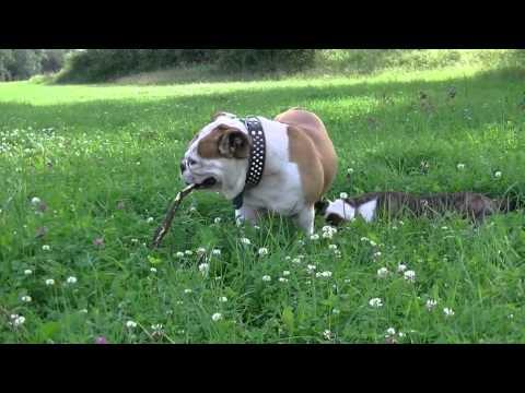 Englische Bulldogge – Wesen, Verhalten und Haltung des Hundes