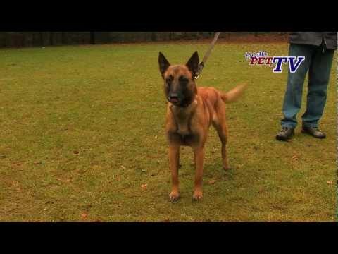 Belgischer Schäferhund - Wesen, Verhalten und Haltung des Hundes