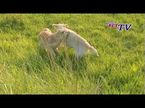 Golden Retriever - Wesen, Verhalten und Haltung des Hundes