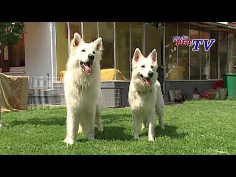 Weißer Schweizer Schäferhund - Wesen, Verhalten und Haltung des Hundes