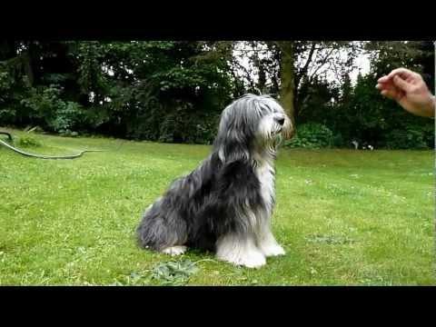 ᐅ Tibet Terrier Verhalten Wesen Charakter Haltung
