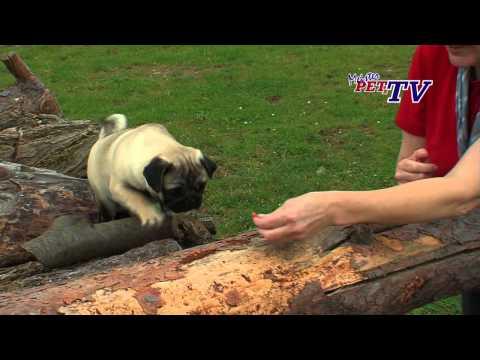 Mops - Wesen, Verhalten und Haltung des Hundes