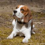 Beagle - Wesen, Verhalten und Haltung des Hundes