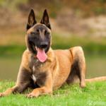 Belgischer Schäferhund auf Wiese liegend