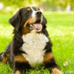 Berner Sennenhund - Wesen, Verhalten und Haltung des Hundes