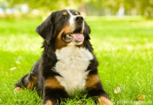 Berner Sennenhund Nahaufnahme auf Wiese