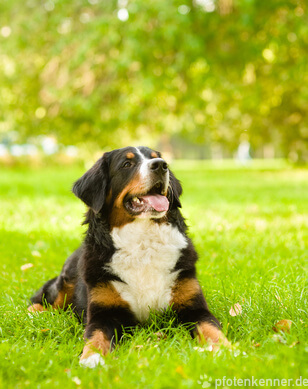 Berner Sennenhund in Gras liegend