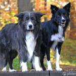 Border Collie - Wesen, Verhalten und Haltung des Hundes