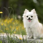 Chihuahua sitzend vor Blumenwiese vor Blumenwiese