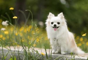 Chihuahua – Wesen, Verhalten und Haltung des Hundes