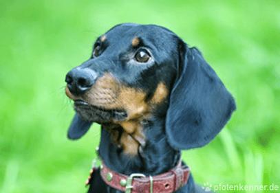 Dackel – Wesen, Verhalten und Haltung des Hundes