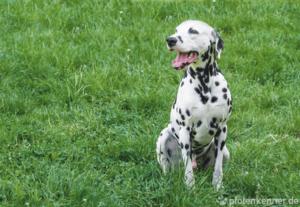 Dalmatiner auf Wiese sitzend