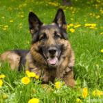 Deutscher Schäferhund in Wiese mit Löwenzahn