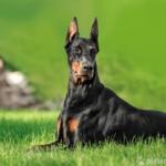 Dobermann liegend im Gras