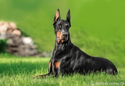 Dobermann – Wesen, Verhalten und Haltung des Hundes
