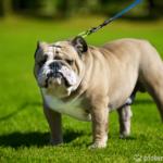 Englische Bulldogge stehend im Gras