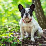 Französische Bulldogge – Wesen, Verhalten und Haltung des Hundes