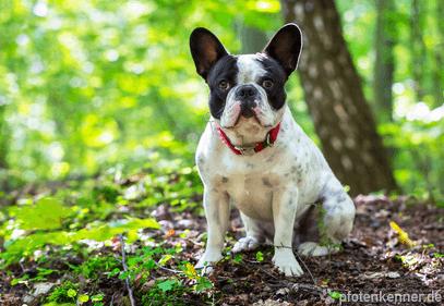 Französische Bulldogge sitzend auf Waldboden