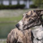 Seitliche Ansicht des Kopfs des Greyhounds