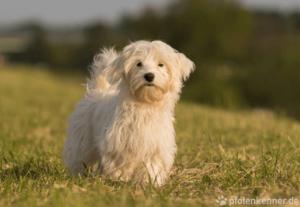Havaneser – Wesen, Verhalten und Haltung des Hundes