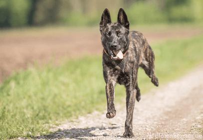 Holländischer Schäferhund getromt auf Feldweg rennend