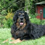 Hovawart – Wesen, Verhalten und Haltung des Hundes