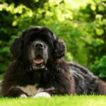 Neufundländer - Wesen, Verhalten und Haltung des Hundes