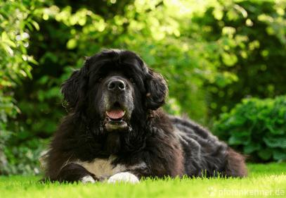 Neufundländer – Wesen, Verhalten und Haltung des Hundes