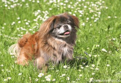 Pekingese – Wesen, Verhalten und Haltung des Hundes