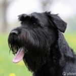 Riesenschnauzer - Wesen, Verhalten und Haltung des Hundes