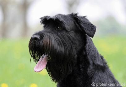 Riesenschnauzer – Wesen, Verhalten und Haltung des Hundes