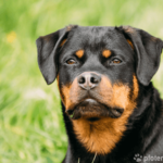 Rottweiler - Wesen, Verhalten und Haltung des Hundes