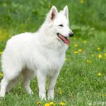 Weisser Schweizer Schäferhund auf Wiese stehend
