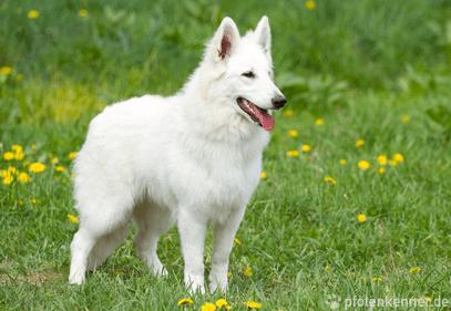 Weißer Schweizer Schäferhund – Wesen, Verhalten und Haltung des Hundes