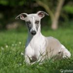 Whippet - Wesen, Verhalten und Haltung des Hundes