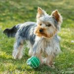 Yorkshire Terrier mit Ball auf Wiese