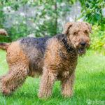Airedale Terrier seitlich stehend auf grüner Wiese