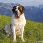 Bernhardiner auf Wiese in Bergpanorama