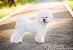 Bichon Frisé – Wesen, Verhalten und Haltung des Hundes