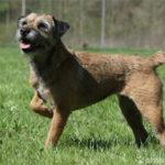 Border Terrier auf Wiese